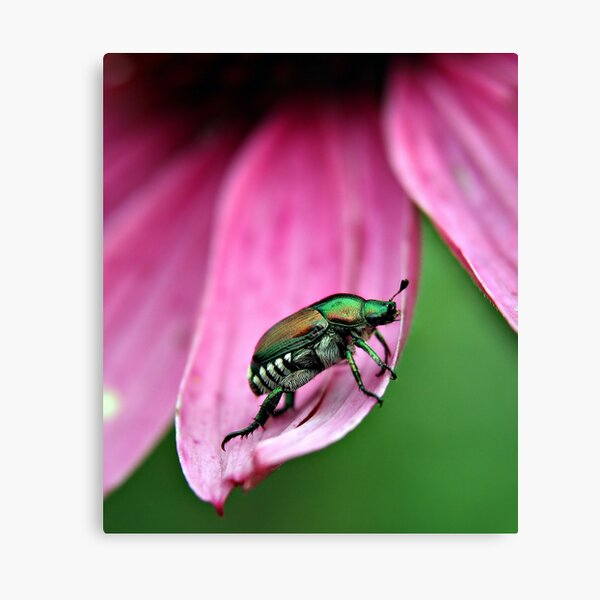 Japanese Beetle Canvas Print