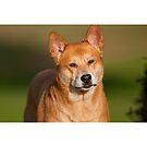Mature Dog Portrait by Susan Gary