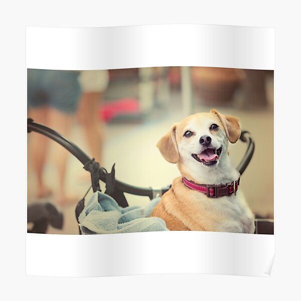Terrier Dog in Bicycle Basket Poster