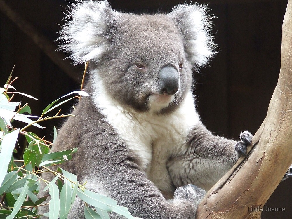 Koala by Linda Ragatz