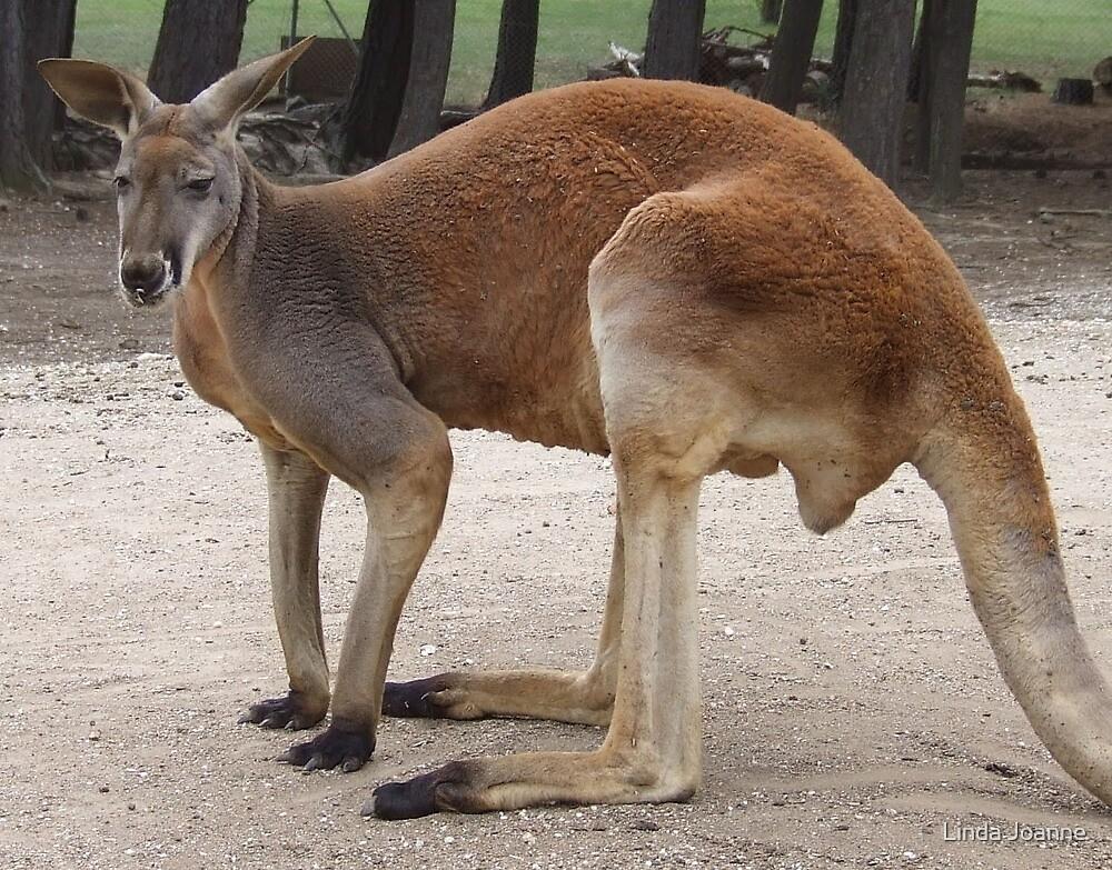 Red Kangaroo by Linda Ragatz