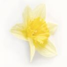 Pale Daffodil by Anthony Thomas
