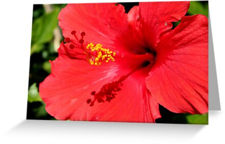 Red Hibiscus by Laurel Talabere