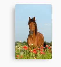 Paso Fino Pferd im Mohnfeld Canvas Print