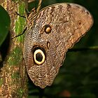 An Owl Eye Butterfly in the Jungle by Laurel Talabere