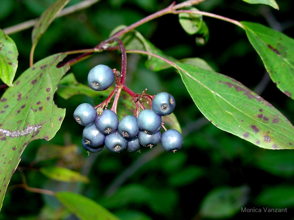Blueberries In Greenville by Monica Vanzant