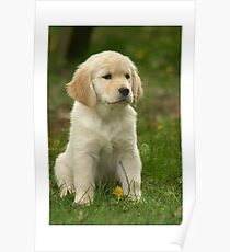 Golden Retriever! Puppy! Poster