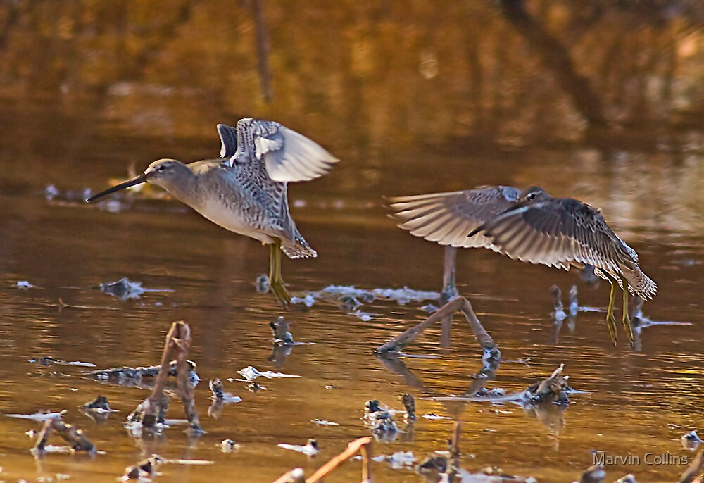 Long Billed Dowitchers by Marvin Collins