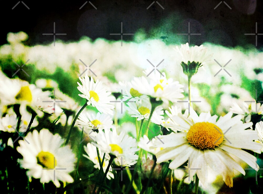 Daisy Field by Angie Seiffert