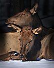 Red Deers by Yannik Hay