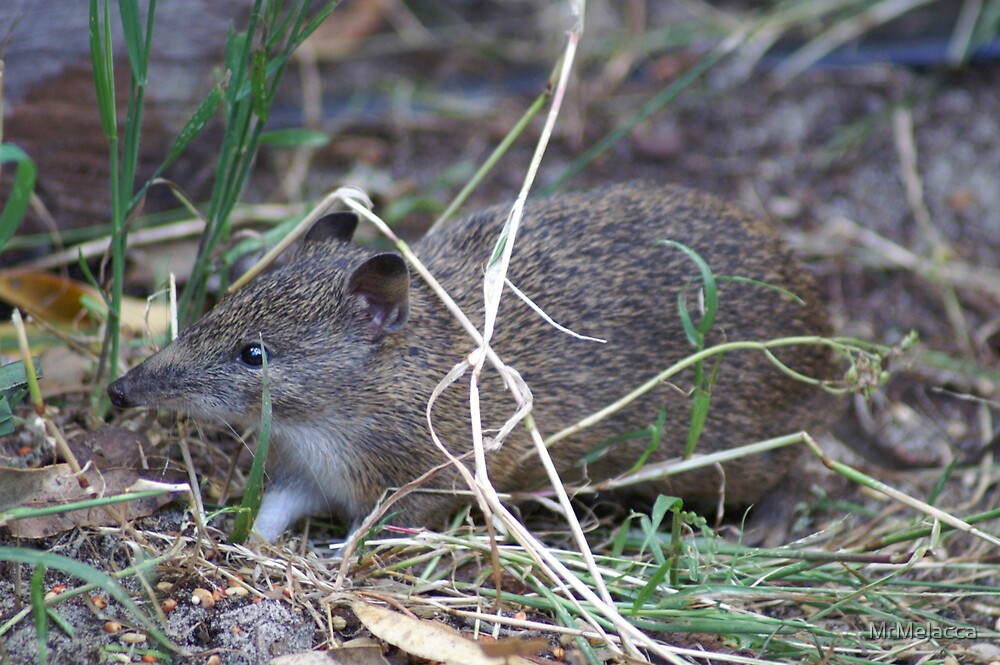 Native Western Australian Marsupial by MrMelacca