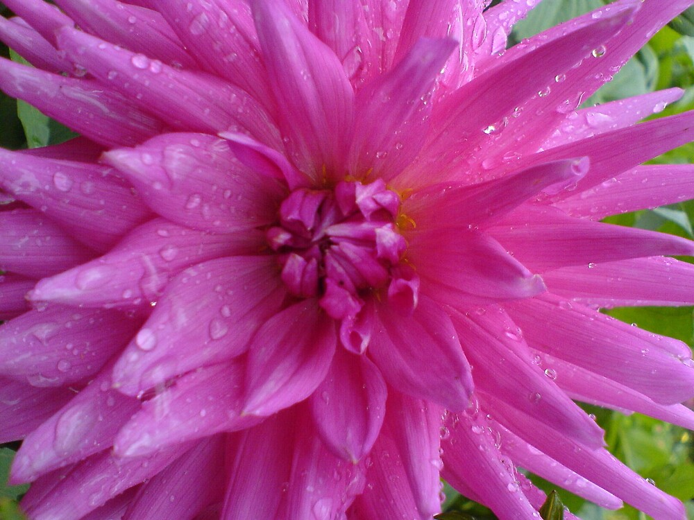 Hot pink chrysanthemum/dewdrops by sassygirl