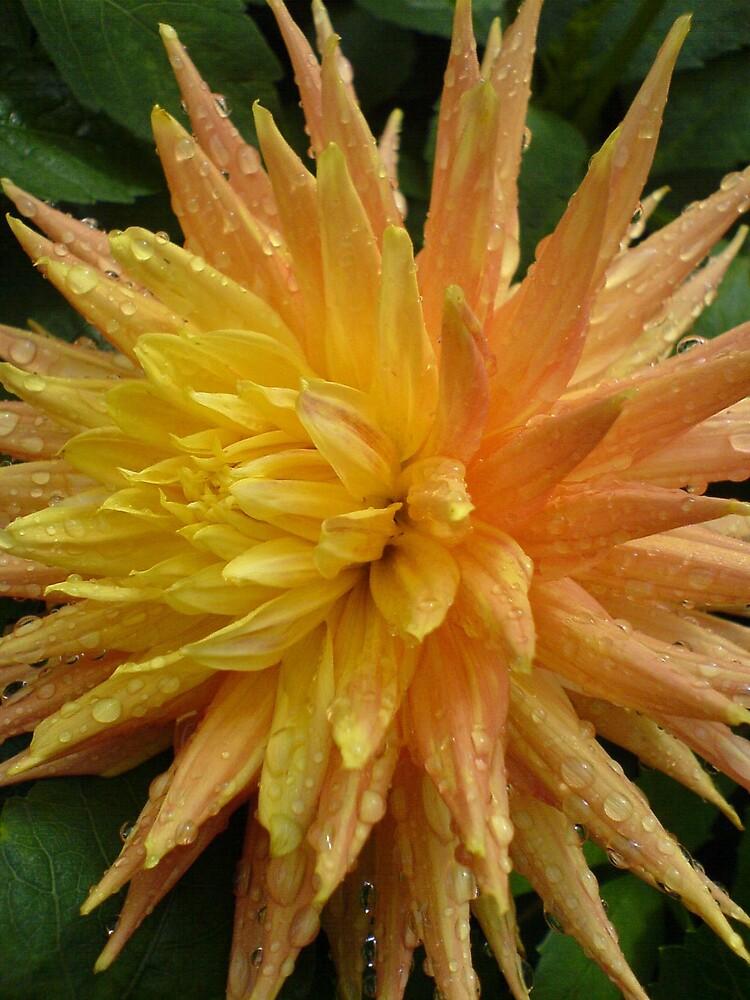 Orange/yellow chrysanthemum/dewdrops by sassygirl