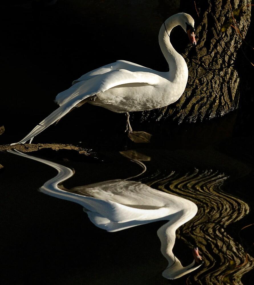 swan reflection by NARDO