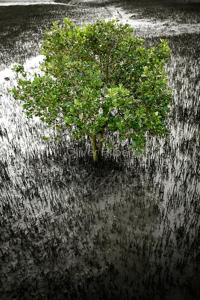 Mangrove Tree by Oliver Hilbert
