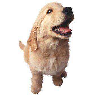 Puppy Retriever by Vitalia