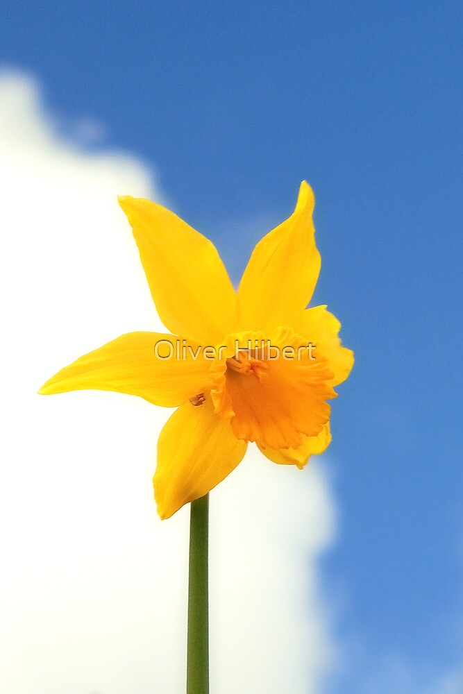 Daffy by Oliver Hilbert