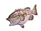 Grouper by Lacey  Ewald