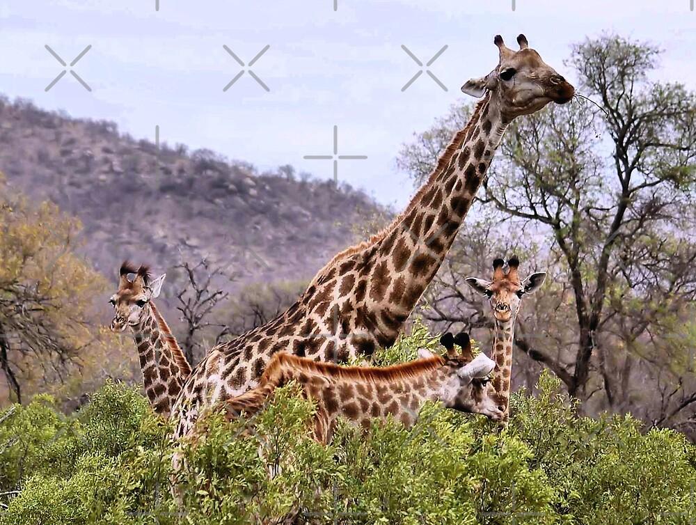 "THE ""TRIPLETS"" HUG - GIRAFFE – Giraffa camelopardalis by Magriet Meintjes"