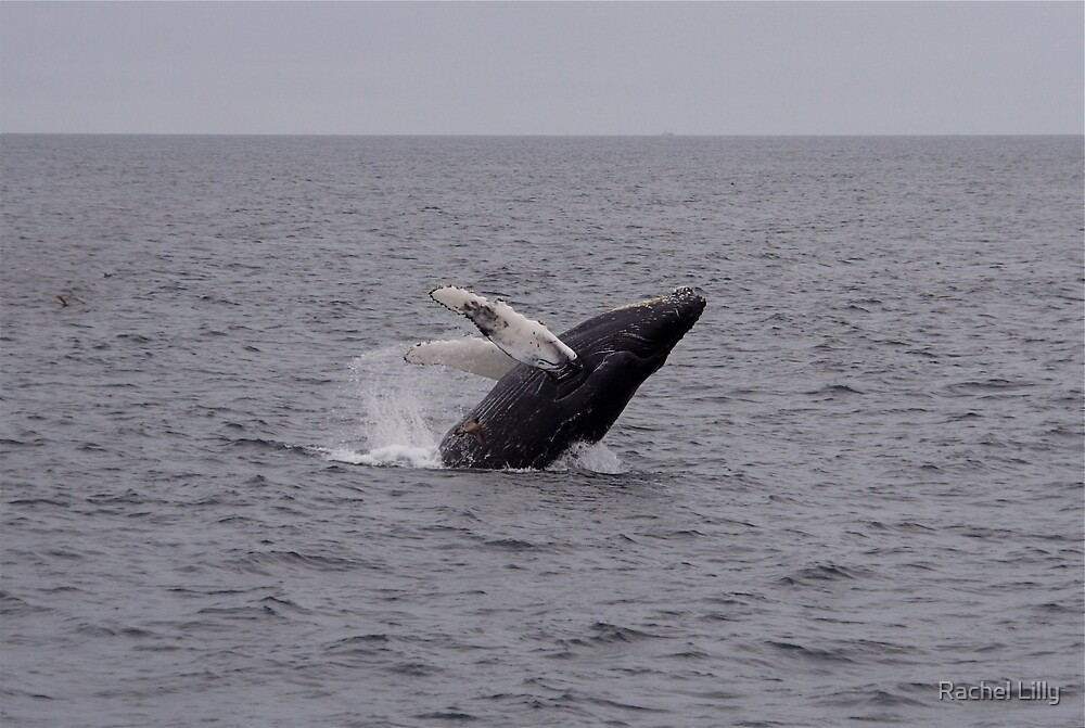 Breeching Baby Humpback by Rachel Lilly