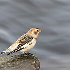 Snow Bunting 2017-2 by Thomas Young