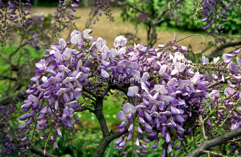 Wysteria Blossoms by Gary Rayner