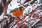 Robin with Crab Apple by Kenneth Keifer