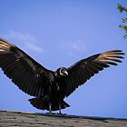 American Black Vulture by Zina Stromberg