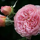 leander rose by picketty