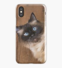 Ragdoll cat with blue eyes iPhone Case/Skin