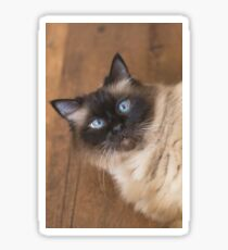Ragdoll cat with blue eyes Sticker
