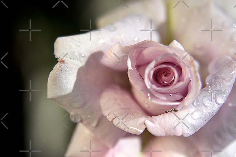 Pink Rose by Clayton Bruster