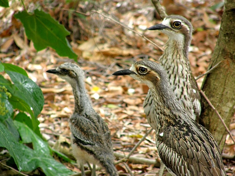 Bush Stone-Curlews and Chick  by Jen64