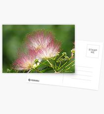 Mimosa ~  An Exotic Flowering Tree Postcards