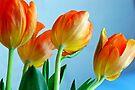 Glowing Orange Tulips by Extraordinary Light