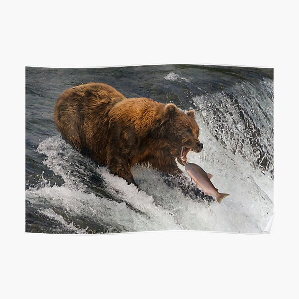 Bear about to catch salmon in mouth Poster