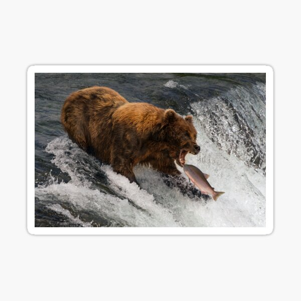 Bear about to catch salmon in mouth Sticker