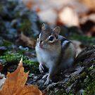 Wild Chipmunk by Lynda   McDonald