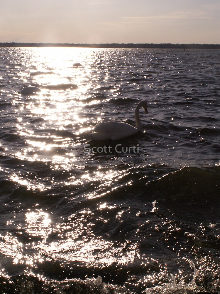 swan in the light by Scott Curti