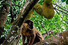 Collared Brown Lemur by Tom Page