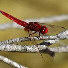 Scarlet Darter by dilouise