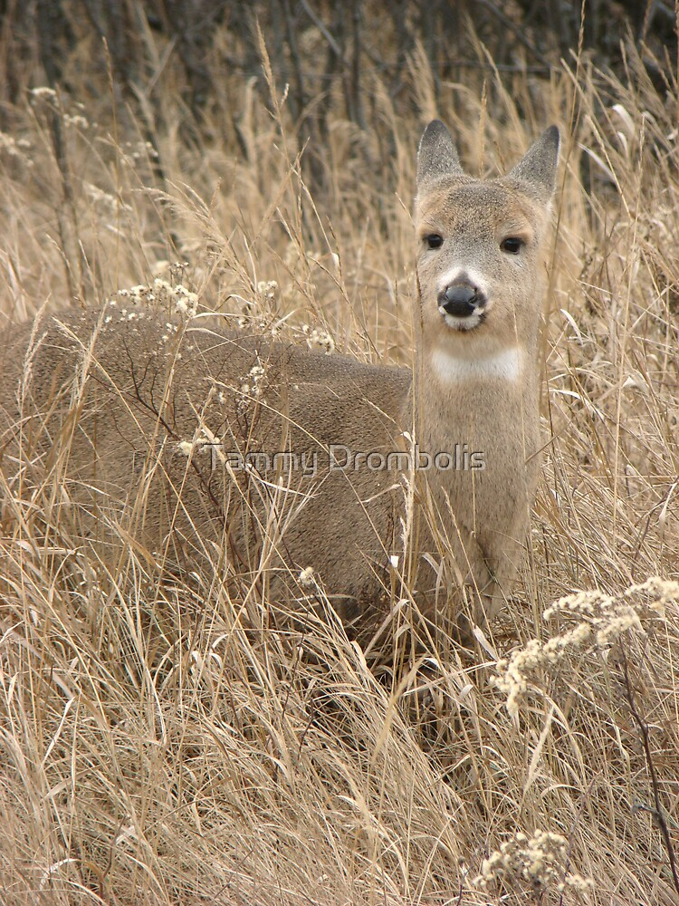 Whitetail Doe by TingyWende