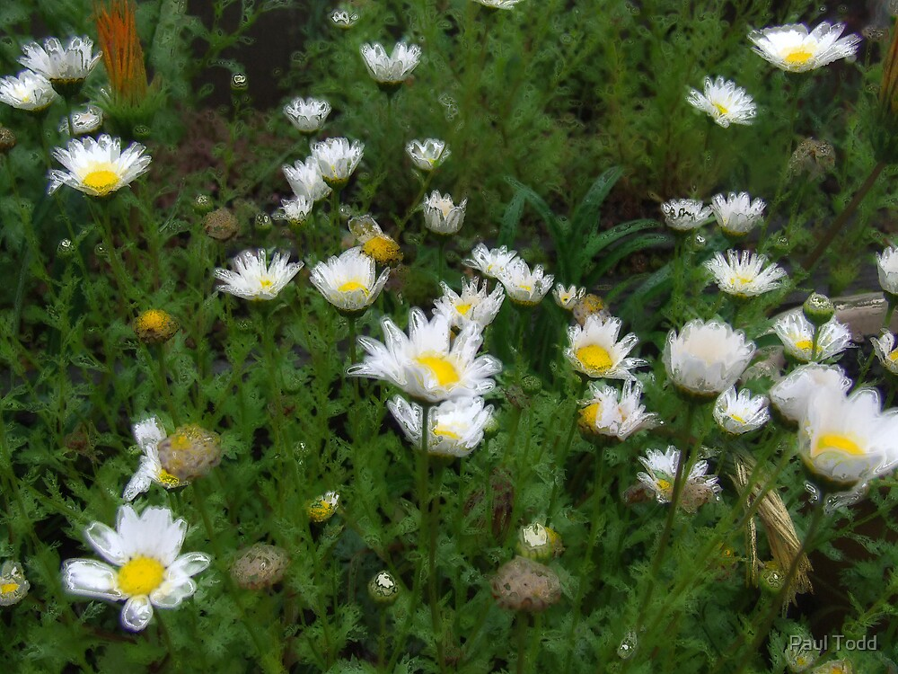 Daisies by Paul Todd