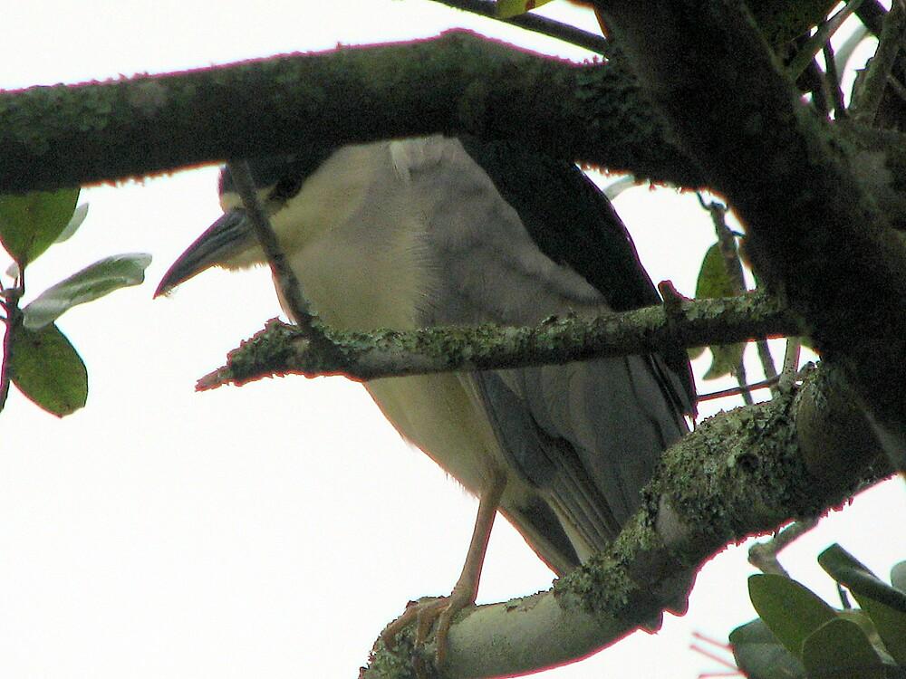 Black Crowned Night Heron by DottieDees