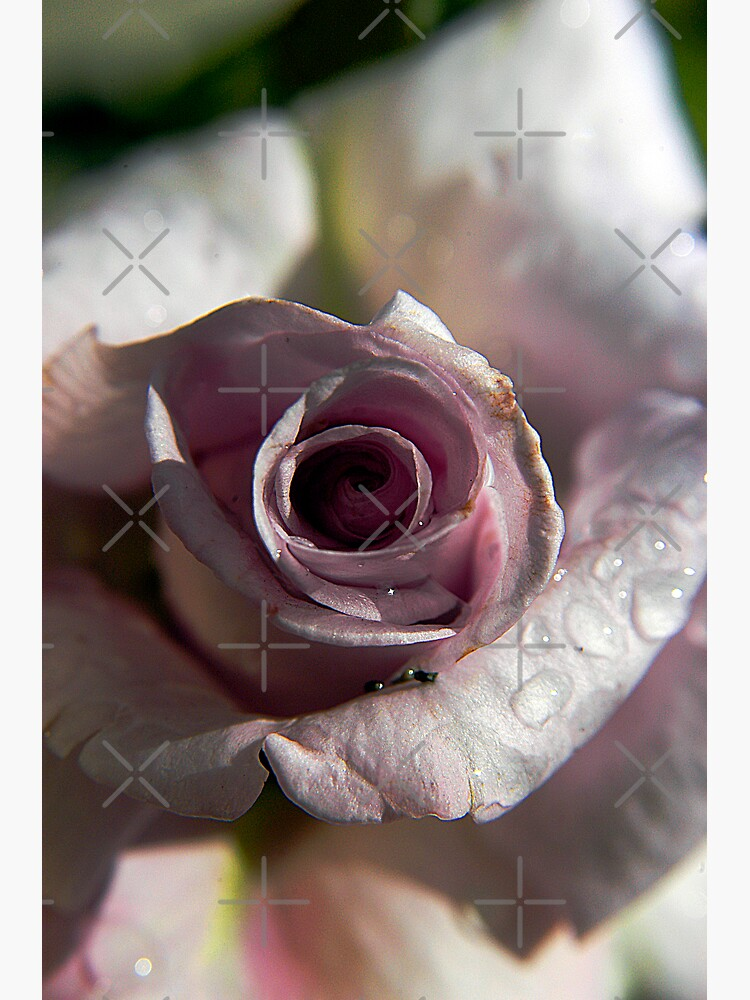 Crying Pink Rose by claytonbruster