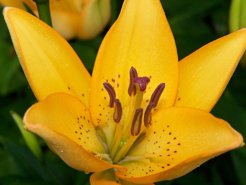 Oriental Lily 2 by madmac57