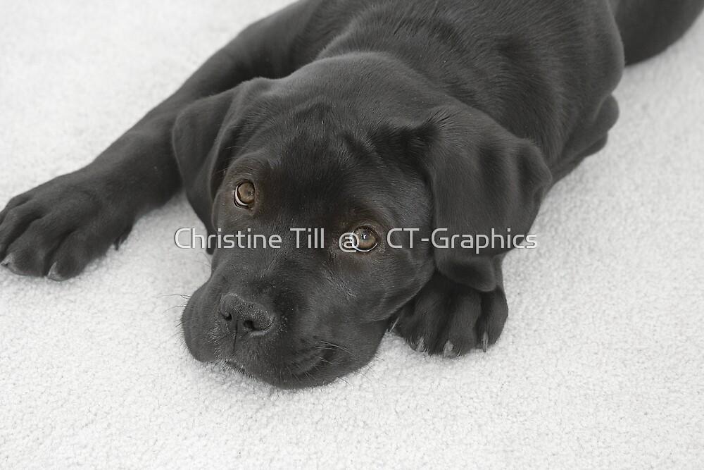 Cane Corse Mastiff Puppy by Christine Till  @    CT-Graphics