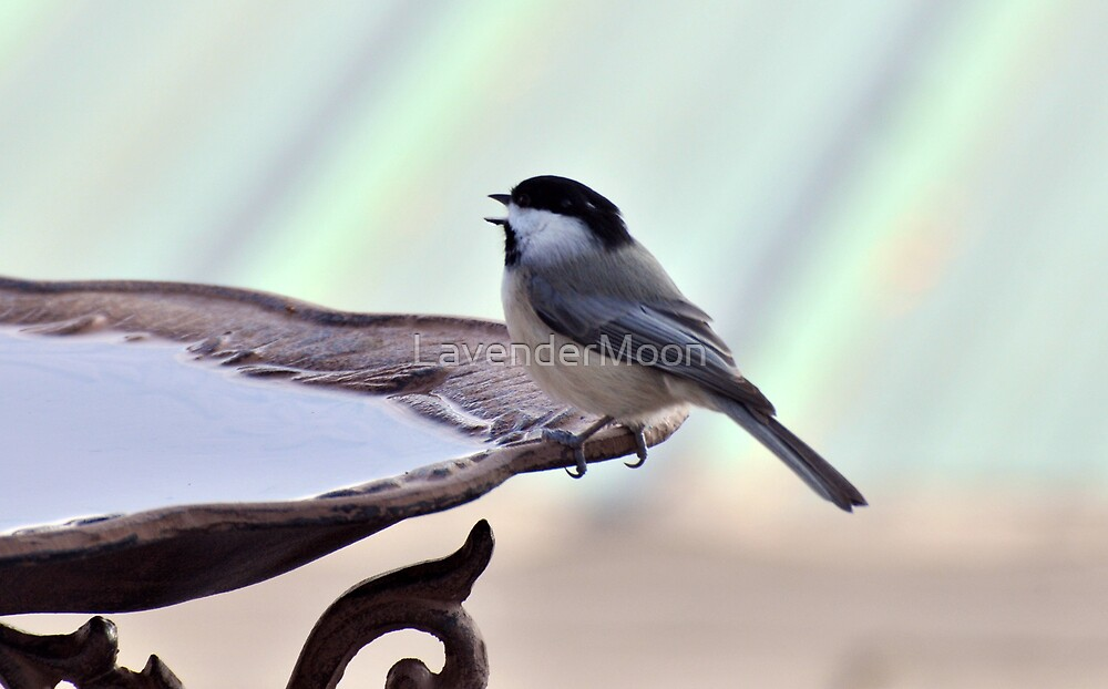 Little Sipper Chickadee by LavenderMoon