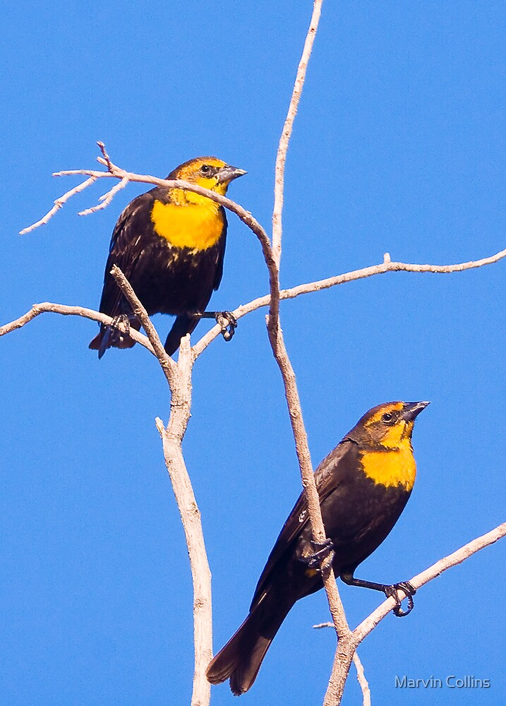 Yellow Headed Blackbirds by Marvin Collins