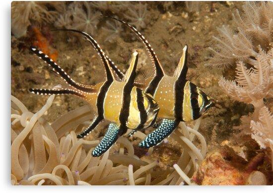 Banggai Cardinalfish, North Sulawesi, Indonesia by Erik Schlogl